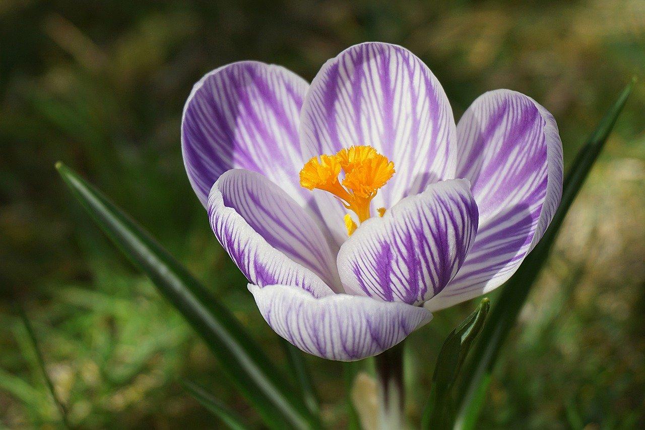 crocus, flower, plant